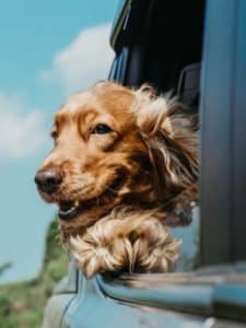 Brown dog happily sticks his head out the window of a car.